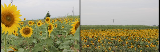Sunflower fields - enroute while returning