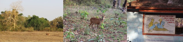A male cheetal running in the meadows | the solitary one - A Barking deer | A witty take at Tiger lovers